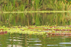 Wading Bird on Giant Water Lilies Stock Image