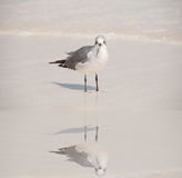 Wading Bird. Lonely Bird wading in the wet sandy beach waiting for some friends to turn up Royalty Free Stock Image