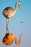 Wading bird reflected on lake Royalty Free Stock Photo