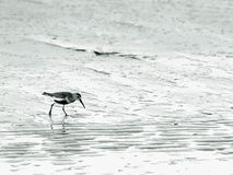 Wading bird at the sea Stock Photography