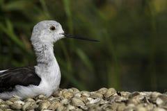Wading bird (stilt) resting on seashells Royalty Free Stock Images