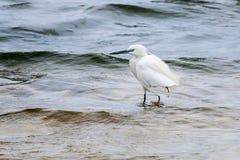 Wading bird Royalty Free Stock Photo