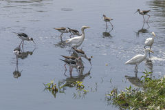 Wading birds Stock Image