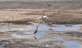 Wading Birds: Drought Royalty Free Stock Image