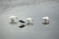 Wading birds feeding at low tide in Florida. Snowy egrets, white ibis, and little blue heron wading at low tide in St. Joseph Sound at Largo, Florida stock photo