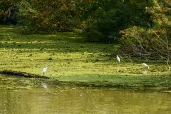 Wading birds on green mudflat near the shore in Mincio river, Ma Royalty Free Stock Photo