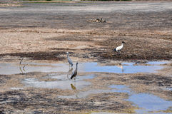 Wading Birds Looking for Water Stock Image