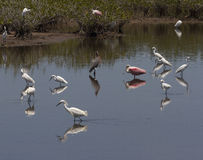Wading birds in marsh. Egrets and other wading birds in marsh Stock Image