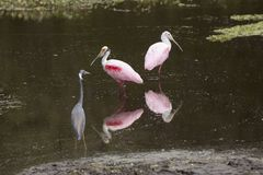 Wading birds, with roseate spoonbills at Orlando Wetlands Park. Two roseate spoonbills, Platalea ajaja, wading with a tricolored heron, Egretta tricolor, in dark royalty free stock photography