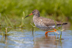Wading Common Redshank Royalty Free Stock Images