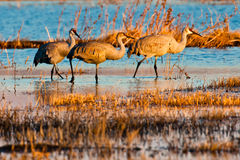 Wading Cranes Royalty Free Stock Photos