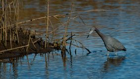 Wading For Dinner. Great Blue Heron wading in Florida wetlands royalty free stock images