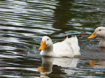Wading Ducks Stock Photo