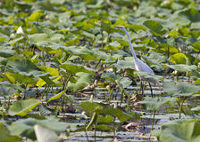 Wading egret. An egret wading among water plants Stock Photos