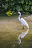 Wading Egret. A white egret wading in the water, with reflection Royalty Free Stock Photo