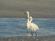 Wading Egrets. Pair of Egrets searching tidal waters for fish stock images