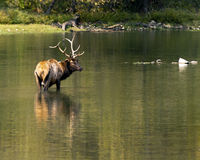 Wading elk Royalty Free Stock Image