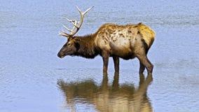 Wading elk. An elk bull wading in a lake Stock Photos