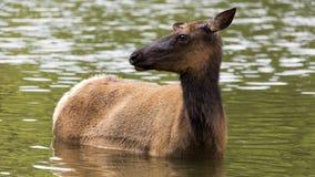 Wading elk doe Royalty Free Stock Photography