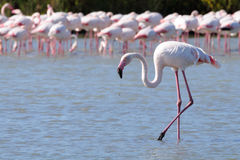 Wading Flamingo. Side profile of Single flamingo wading in foreground with group of flamingos in background Stock Images