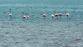 Wading flamingos. Pink flamingos wading in the waters of Lake Abiyata found in Oromia region of Ethiopia stock photo