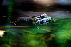 Wading frog. Frog wading in pond Stock Photo