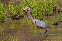 Wading Great Blue Heron Royalty Free Stock Image