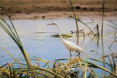 Wading Great Egret. A Great Egret, a long-legged wading bird, all white with yellow bill and black legs.  Picture taken in the middle Rio Grande Valley of New stock images
