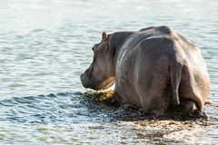 Wading Hippo Royalty Free Stock Photos