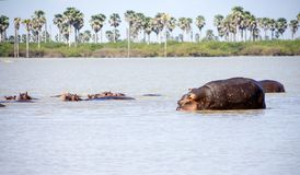 Wading hippos. Group of hippos in the water in Selous Game Reserve, Tanzania, Africa royalty free stock image