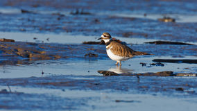 Wading Killdeer. A single Killdeer wading in a small tidal pool with ripples Stock Photos