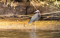 The wading Little Blue Heron stock photo