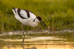 Wading pied avocet Stock Photos