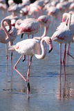 Wading Pink Flamingo. Many flamingos wading in wet salt lake with a single flamingo in focus Stock Image