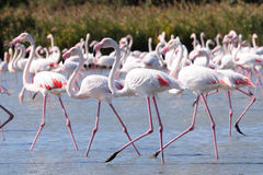Wading Pink Flamingos Royalty Free Stock Photo