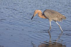 A Wading Reddish Egret. A Reddish Egret is wading in the water Stock Photos