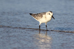Wading Sanderling. A sanderling (Calidris alba) standing in the water at a beach in Massachusetts Stock Photography