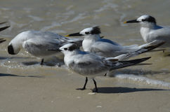 Wading Sandwich Terns on the Edge of the Water