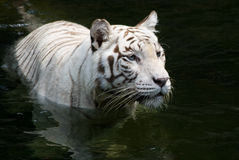Wading Tiger. A white bengal tiger cools off by wading in the water royalty free stock photos