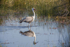 Wading Wattled Crane w/Reflection Royalty Free Stock Photos