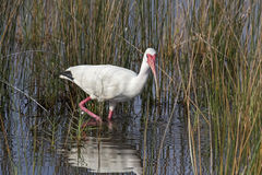 Wading White Ibis. A wading American white ibis looks at the camera while wading in a Florida wetland stock photography