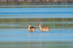 Wading Whitetails стоковое фото