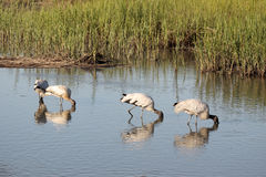 Wading Wood storks Stock Photography