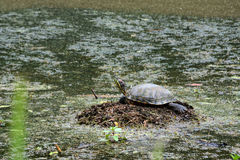 Waer Turtle Royalty Free Stock Photography