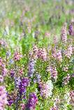 Waew Wichian Flower Lizenzfreies Stockbild