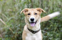 Wagging ουρά σκυλιών κουταβιών φυλής κόλλεϊ μικτή ποιμένας mutt Στοκ φωτογραφία με δικαίωμα ελεύθερης χρήσης
