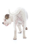 Wagging tail of a dog Stock Image