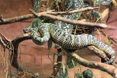 Wagler pit viper Stock Images