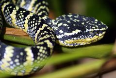 Wagler pit viper snake Stock Photography