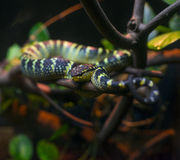 Wagler Pit Viper Royalty Free Stock Images